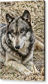 Acrylic Print featuring the photograph Wolf Portrait by Shari Jardina