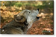 Wolf Song Acrylic Print