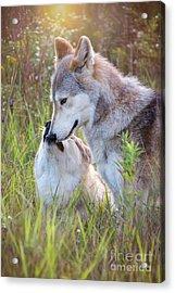 Wolf Soul Mates Acrylic Print