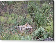Wolf Stalking Bird Acrylic Print