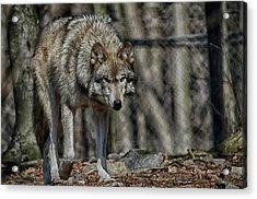 Wolf Stalking Acrylic Print