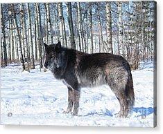 Wolfdog Acrylic Print