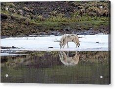 Wolflection Acrylic Print