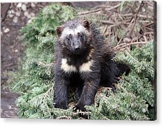 Wolverine - Kit - 0009 Acrylic Print by S and S Photo