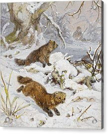 Wolverines In The Snow Acrylic Print