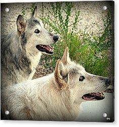 wolves XV Acrylic Print