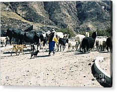 Woman Leading Cattle In Chile Acrylic Print by Trude Janssen