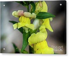 Wonderful Nature - Yellow Antirrhinum Acrylic Print