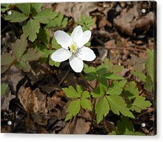 Acrylic Print featuring the photograph Wood Anemone by Linda Geiger