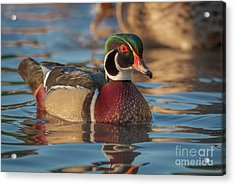 Wood Duck 4 Acrylic Print