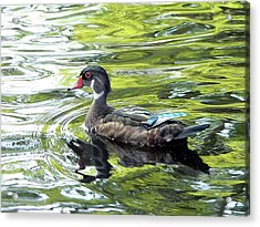 Wood Duck Acrylic Print by Al Powell Photography USA