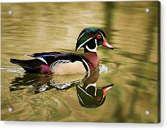 Wood Duck Cruising Acrylic Print