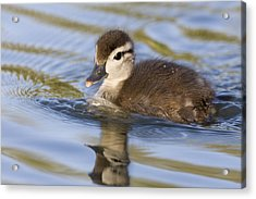 Wood Duck Duckling Swimming Santa Cruz Acrylic Print by Sebastian Kennerknecht