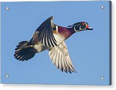 Wood Duck Flying Fast Acrylic Print