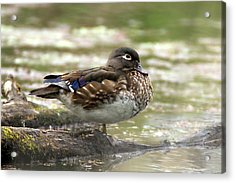 Wood Duck Hen Acrylic Print