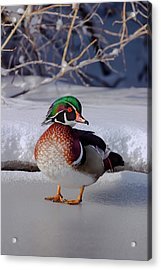 Wood Duck In Winter Snow And Ice, Montana, Usa Acrylic Print