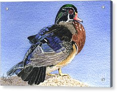 Wood Duck Acrylic Print by Lynn Quinn