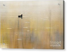 Acrylic Print featuring the photograph Wood Duck On Golden Pond by Larry Ricker