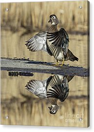 Acrylic Print featuring the photograph Wood Duck Reflection by Mircea Costina Photography