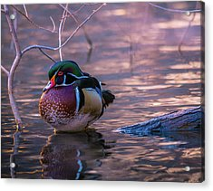 Wood Duck Resting Acrylic Print