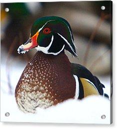 Wood Duck Acrylic Print by Robert Pearson
