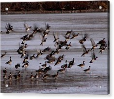 Wood Ducks Acrylic Print by Athena Ellis