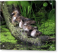 Wood Ducks On A Log Acrylic Print