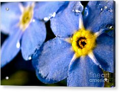 Wood Forget Me Not Blue Two Acrylic Print