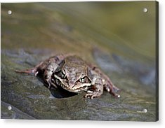 Acrylic Print featuring the photograph Wood Frog Close Up by Christina Rollo