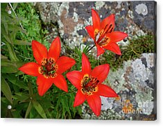 Wood Lilies On The Rocks Acrylic Print