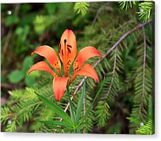 Wood Lily Also Called Prairie Lily Or Western Red Lily Acrylic Print by Louise Heusinkveld