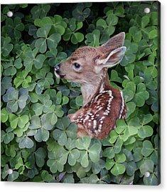 Wood Sorrel Blanket Acrylic Print