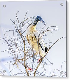 Wood Stork Sitting In A Tree Acrylic Print