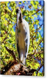 Acrylic Print featuring the photograph Wood Stork Stare by David A Lane