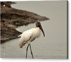 Wood Stork Walking Acrylic Print by Al Powell Photography USA