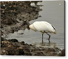 Wood Stork With Fish Acrylic Print by Al Powell Photography USA