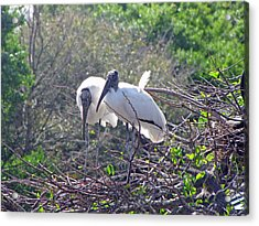 Wood Storks Acrylic Print by Martha Ayotte