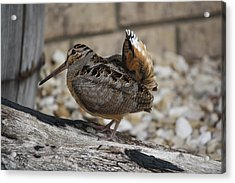 Acrylic Print featuring the photograph Woodcock by Donna  Smith