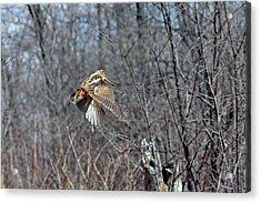 Woodcock Flight Ascension Acrylic Print