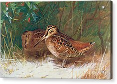 Woodcock In The Undergrowth Acrylic Print by Archibald Thorburn