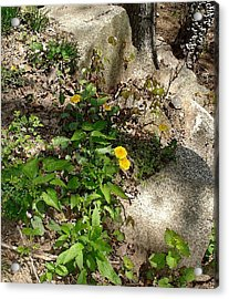 Acrylic Print featuring the photograph Woodland Dandelion by Margie Avellino