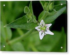 Woodland Wildflower Acrylic Print