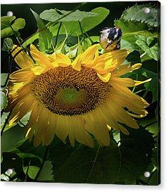 Woodpecker Delight Acrylic Print by Bill Wakeley