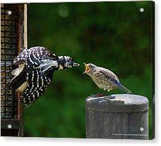 Woodpecker Feeding Bluebird Acrylic Print