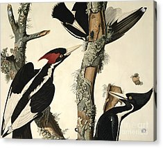 Woodpecker Acrylic Print by John James Audubon