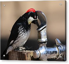 Woody And The Water Fountain Acrylic Print by Wingsdomain Art and Photography
