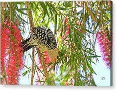 Woody In The Bottlebrush Acrylic Print