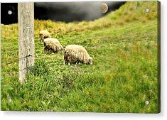 Wooly Acrylic Print