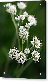 Wooly Whites Wildflowers Acrylic Print by Linda Phelps