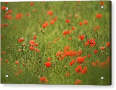 Worcestershire Poppy Field Acrylic Print by Wayne Molyneux
